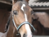 187-2012-colt-by-royal-classic-out-of-a-sandro-hit-mare-bobilis