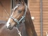 189-2012-colt-by-royal-classic-out-of-a-sandro-hit-mare-bobilis