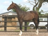 249-2012-colt-by-royal-classic-out-of-a-sandro-hit-mare-bobilis