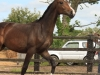 254-2012-colt-by-royal-classic-out-of-a-sandro-hit-mare-bobilis