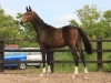 256-2012-colt-by-royal-classic-out-of-a-sandro-hit-mare-bobilis