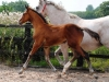 140811-2014 Bay Colt Royal Classic x Don Juan (Cora's Foal )-1