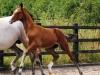 140811-2014 Bay Colt Royal Classic x Don Juan (Cora's Foal )-2