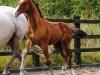140811-2014 Bay Colt Royal Classic x Don Juan (Cora's Foal )-3