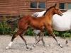 140811-2014 Bay Colt Royal Classic x Don Juan (Cora's Foal )-4