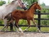 140811-2014 Bay Colt Royal Classic x Don Juan (Cora's Foal )-5