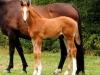 2014 Colt Blur Hors Zack x Charon (Tias foal)-1