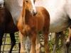 2014 Colt Blur Hors Zack x Charon (Tias foal)-2