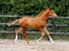 2014 Colt Blur Hors Zack x Charon (Tias foal)-3