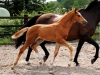 2014 Colt Blur Hors Zack x Charon (Tias foal)-4