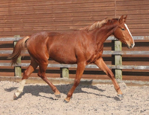 Freddie !6 hh gelding Rising Three