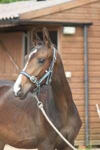 189-2012 Colt by Royal Classic out of a Sandro Hit mare (Bobilis)