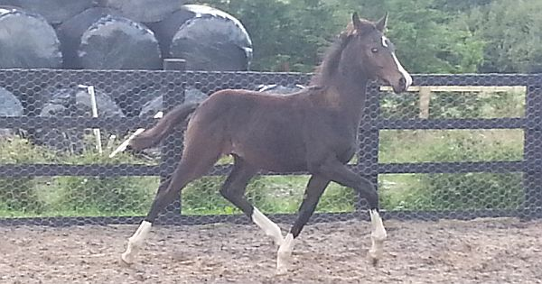 Bobilis 2012 Colt by Royal classic For sale 600