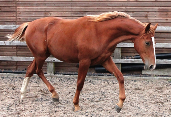 Gelding from Stanhopes Odwig
