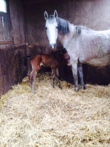 Cora's event bred filly by Bazaars Chief